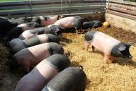 Tierwohl: Schweineställe der Zukunft
